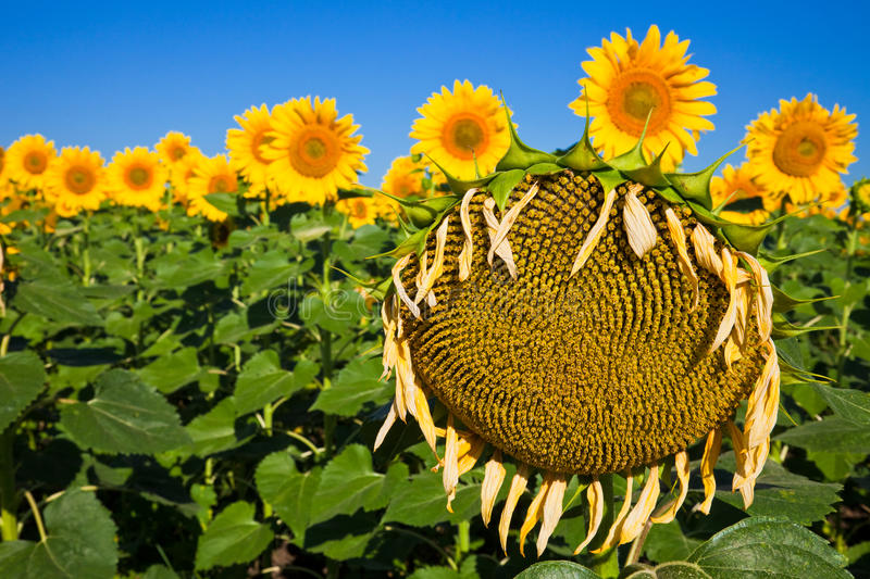 Old Sunflower royalty free stock image