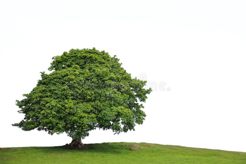 Old Sycamore Tree. Sycamore tree in full leaf in a field summer, over white background royalty free stock photography