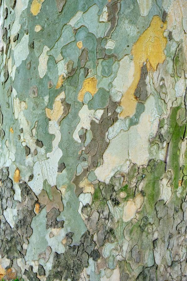Old sycamore tree Platanus Orientalis bark/outer layer texture - vertical, close up with natural light royalty free stock photography