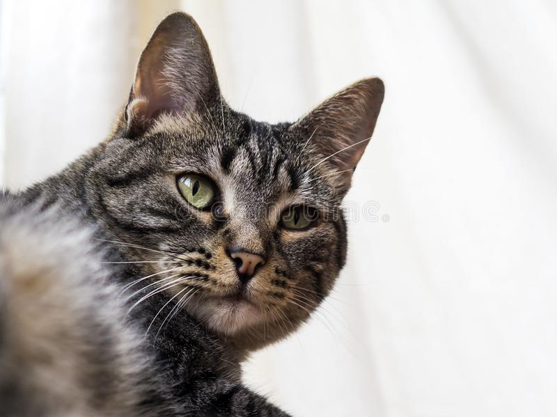 Old tabby cat portrait in white background. Old tabby cat portrait looking to the side while laying down in white background stock images