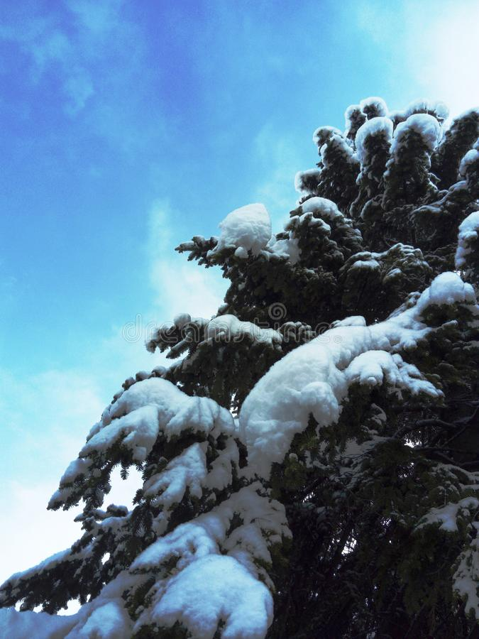 Old tall fir tree with beautiful blue sky. Old tall fir tree covered with snow and beautiful blue sky stock image