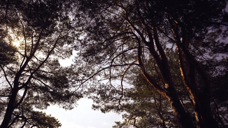 Old tall pines pinery sway in the wind against the sky. Tree trunks swaying, hissing branches. In autumn, spring in royalty free stock photography