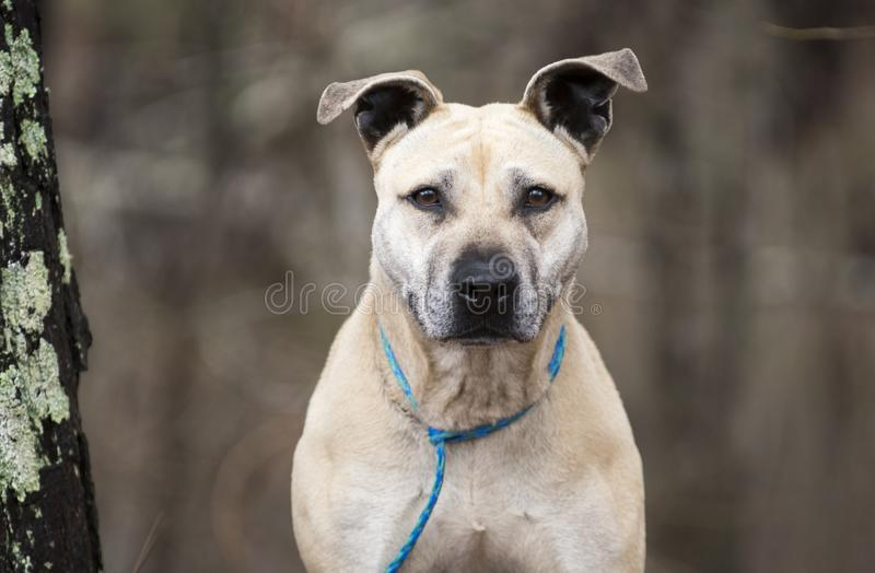 Old tan Pitbull mixed breed dog outside on leash. Older senior tan mixed breed dog outside on leash next to a tree. Pet rescue dog adoption photography for royalty free stock photos