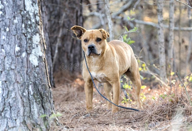 Old terrier mix mutt dog on leash outside. Ten year old senior older tan bulldog and terrier mix breed mutt with swollen ears from ear mite infection. Dog rescue royalty free stock photos