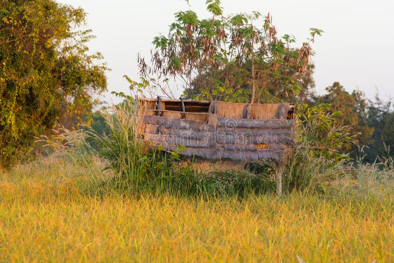 Old thai huts with the golden paddy field . Old thai huts with the golden paddy field in Thailand stock photography