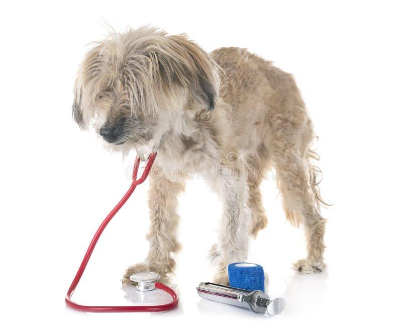 Old tibetan terrier stock image