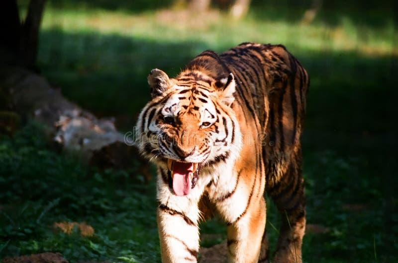 Tiger 1. Old tiger baring teeth in captivity royalty free stock photo
