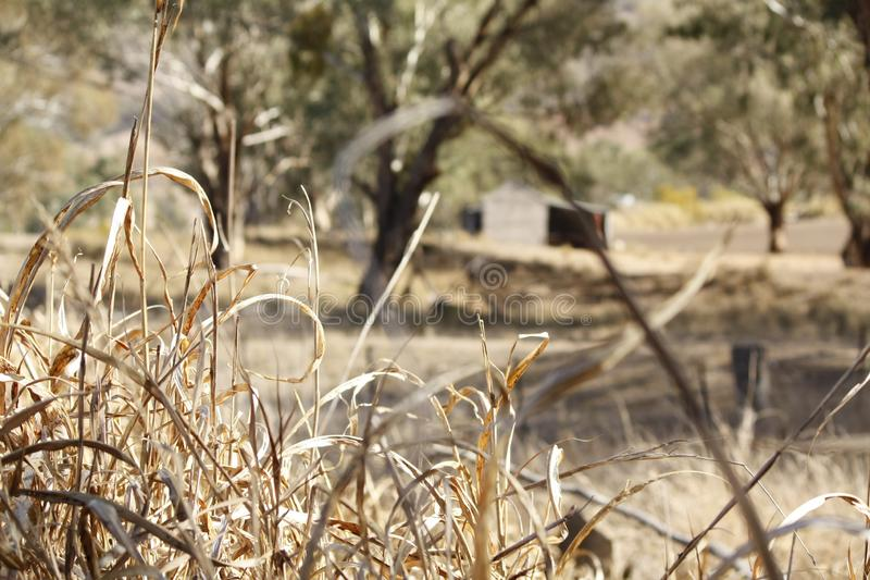 old timber farm shed amongst gumtrees royalty free stock photo