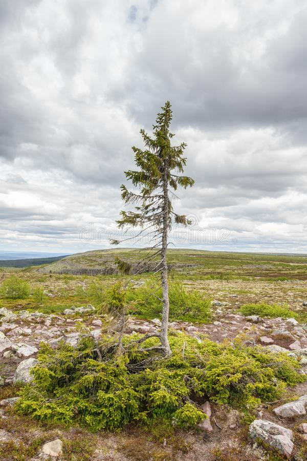 Old Tjikko a famous old spruce tree in Fulufjallet national park in Sweden royalty free stock images