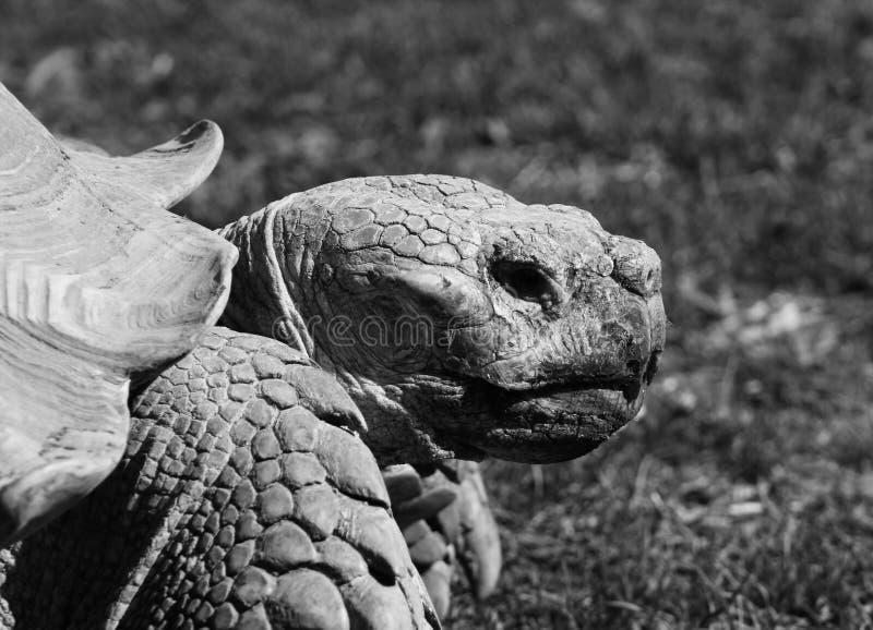 Old Aldabran Tortoise royalty free stock image