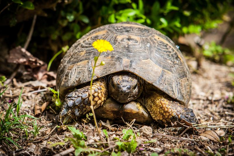 An old tortoise in Monte San Bartolo monastery in Pesaro, Marche, Italy. Picture of an old tortoise in Monte San Bartolo monastery in Pesaro, Marche, Italy royalty free stock images