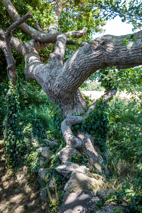 Old tortuous oak tree with ivy for concept of history. Old tortuous oak tree with ivy and stones in the summer shade for concept of ancestor, tale, history stock images