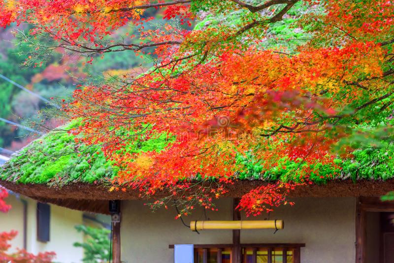 Old traditional Japanese roof and maple tree.  stock photos