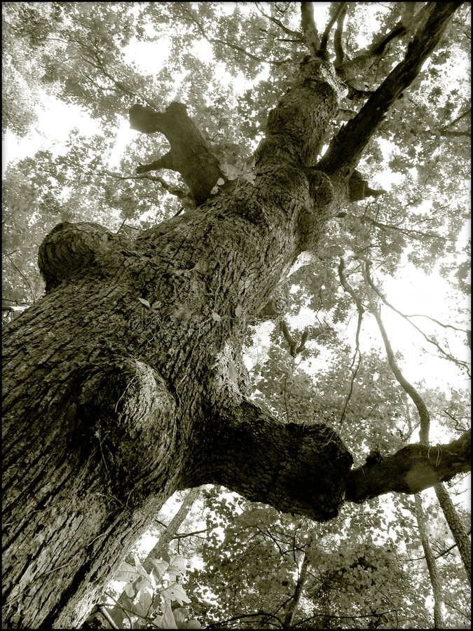 Download Old Tree Stock Image - Image: 21441