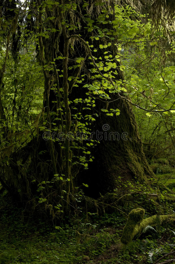Download Old Tree stock image. Image of dark, alive, clean, protected - 25595129