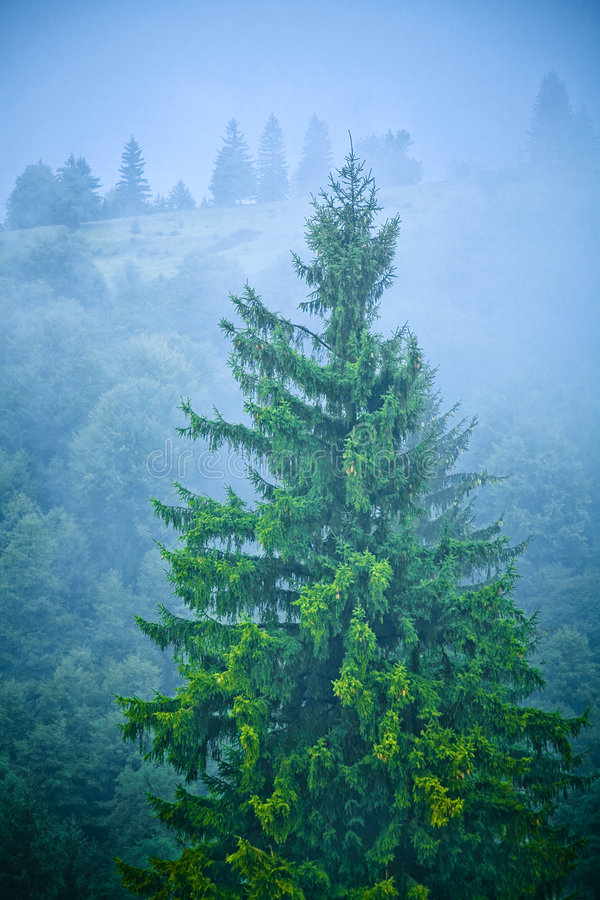 Download Old tree stock image. Image of mist, thick, cool, environment - 3195399