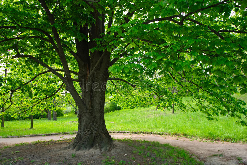 Old tree. In the park royalty free stock photography