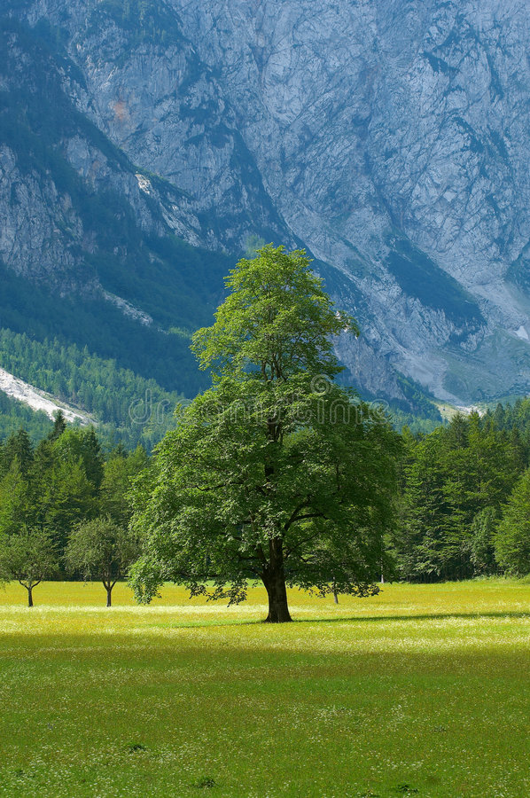 Old tree in alpine valley royalty free stock photo