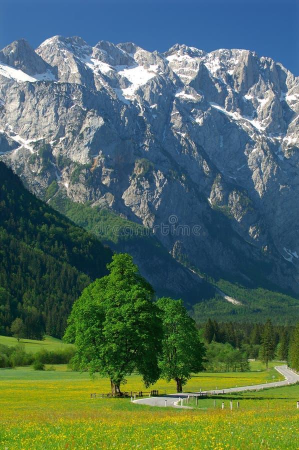Old tree in alpine valley stock photos