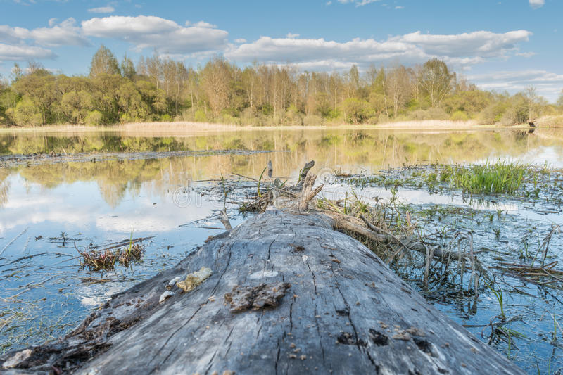 An old tree without bark lies from shore to lake, in water reflects a blue sky with clouds and a horizon line with a forest massif. A sunny spring landscape royalty free stock photography