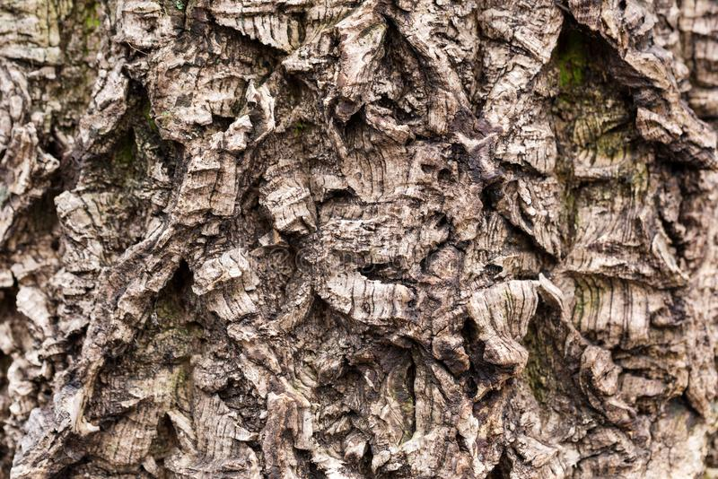 Old tree bark textured. Crooked and wry surface. Weathered and aged wooden texture with deep furrow.  royalty free stock photo