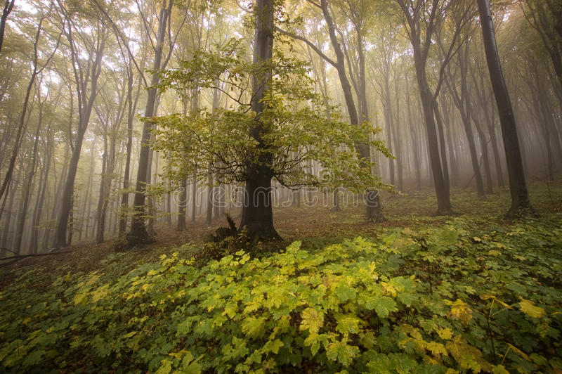 Download Old Tree In A Beautiful Forest In Autumn Stock Photo - Image: 25292000
