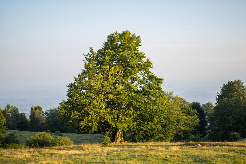 An old tree that is on a beautiful green field, on a beautiful summer day stock image