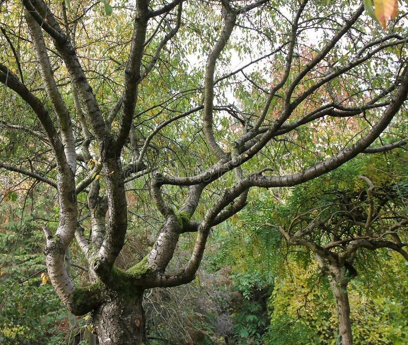 Old tree at botanical garden royalty free stock photography