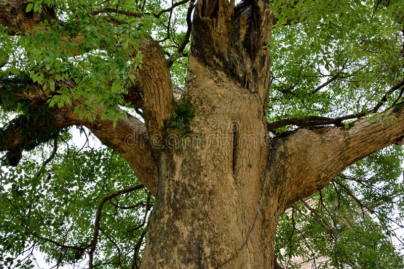 Download An old tree stock photo. Image of extend, branch, leaves - 31687088