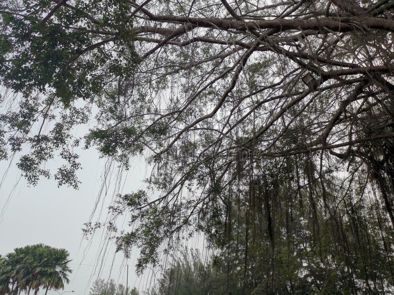 Old Tree in Port Dickson Malaysia. Old Tree branches in Port Dickson Malaysia. Located on a beach stock photo