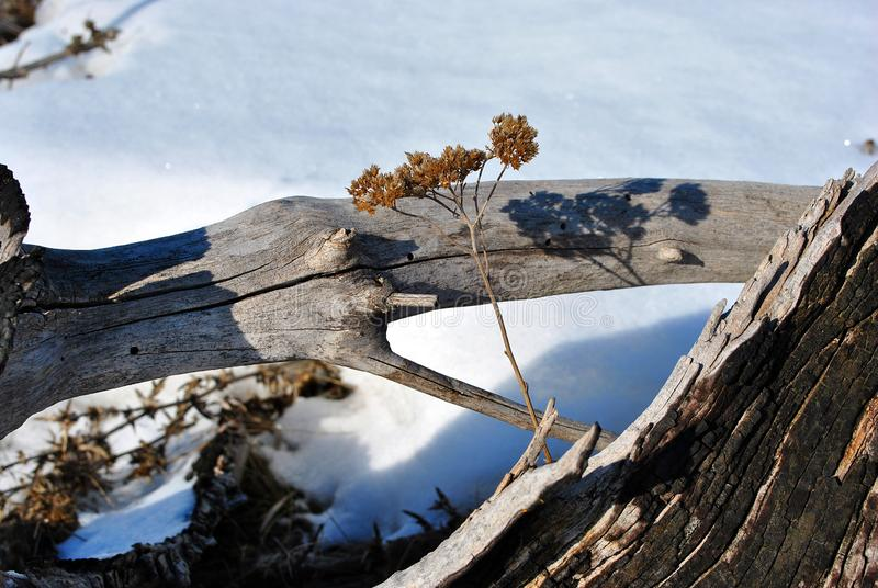 Old tree burned stump and bright yellow dry yarrow flower twigs, white snow background stock image