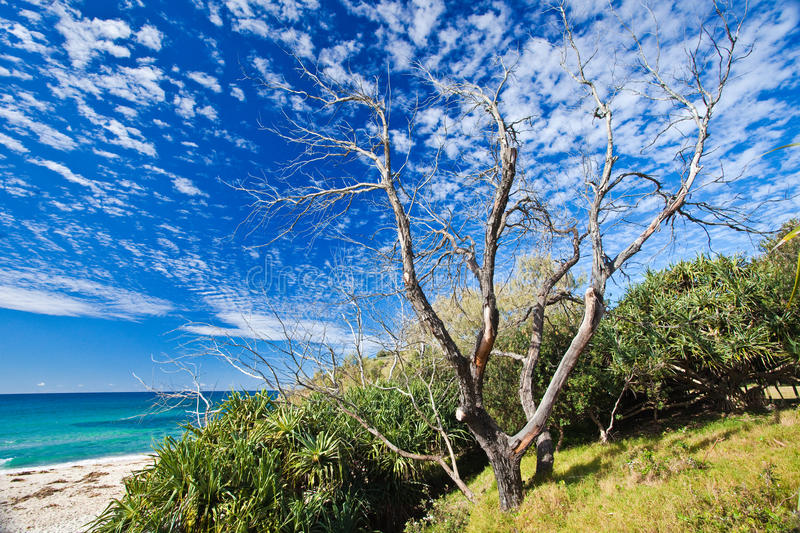 Download Old tree on Cabarita beach stock image. Image of summer - 10187493