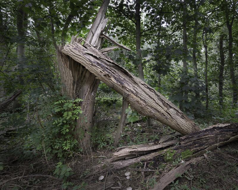 Old tree collapsed due to rot and decay on the forest floor stock photos