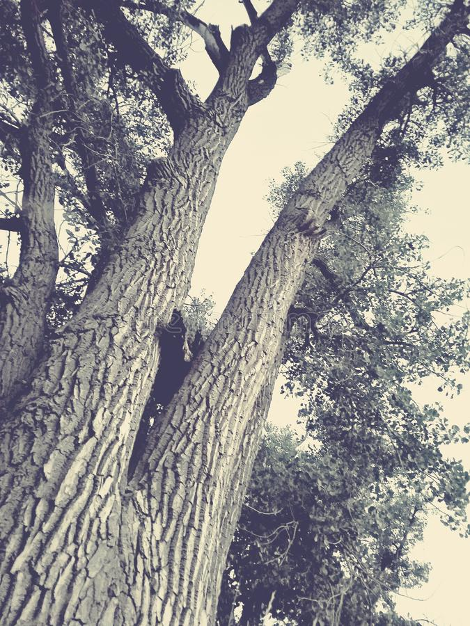 Old Tree royalty free stock photography