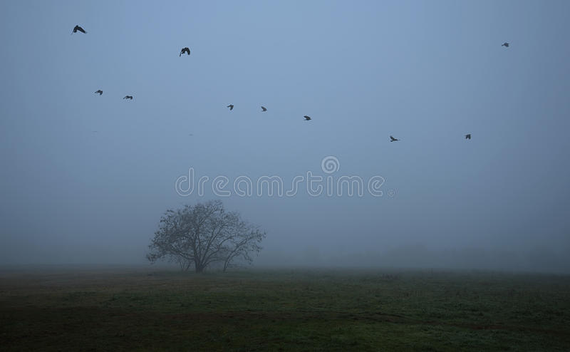 Old tree in the field a foggy day royalty free stock images