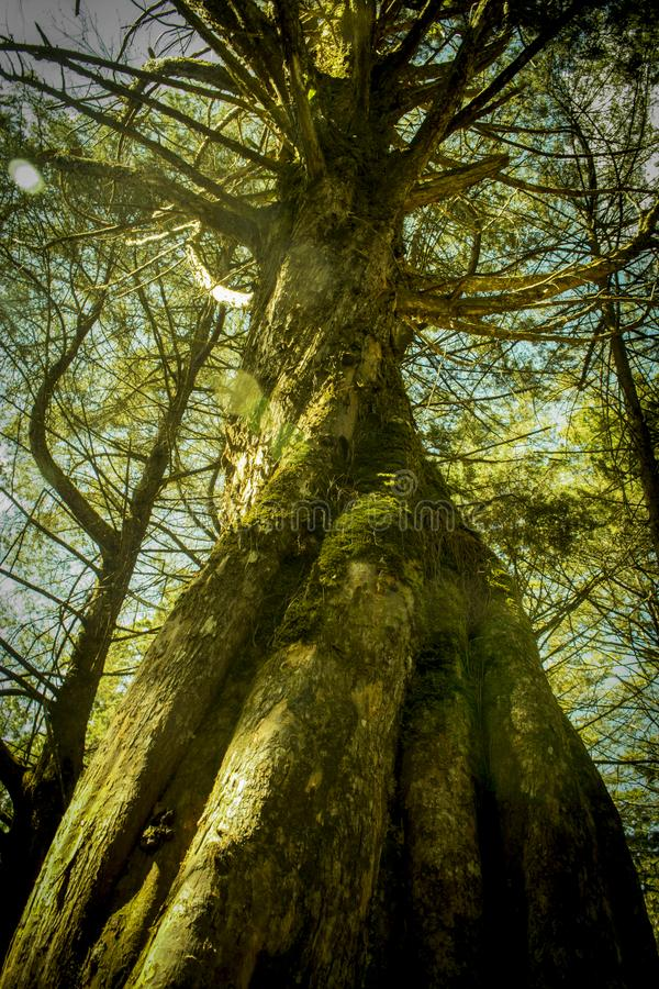 Old tree in forgotten forest royalty free stock photography