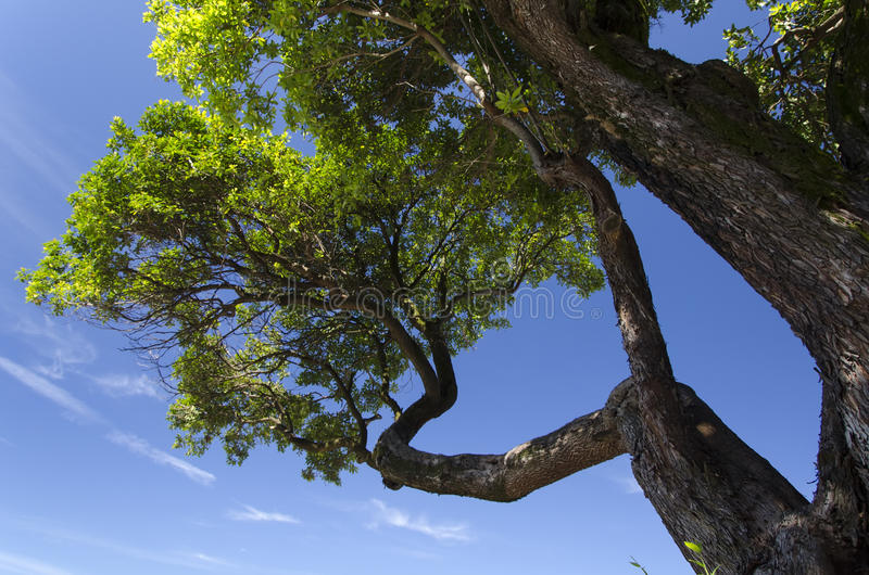 Download Old tree stock photo. Image of photo, blue, daylight - 31369206
