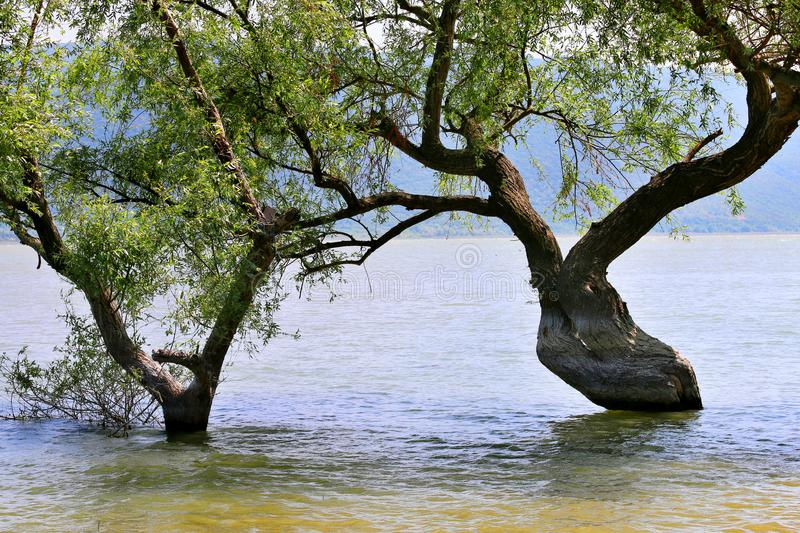 Tree in the river royalty free stock images