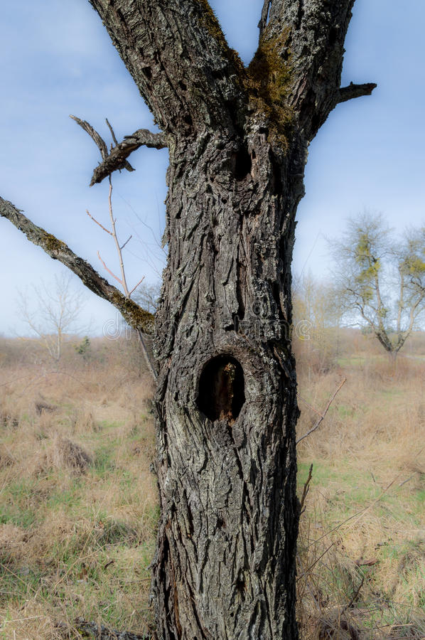 Old tree with hole. In stem royalty free stock images