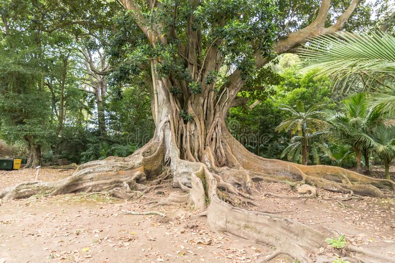 An old tree in Ponta Delgada on the island of Sao Miguel, Portugal. An old tree in Jardim Jose do Canto in Ponta Delgada on the island of Sao Miguel, Portugal stock image