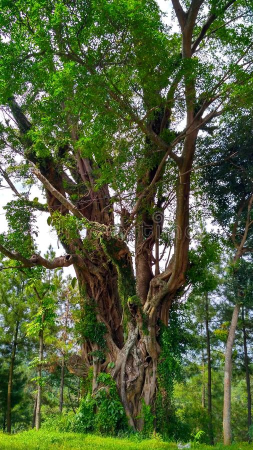 Download Old Tree Stock Photo - Image: 83724902