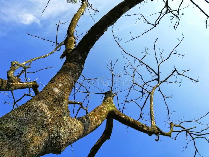 The old tree without leaves at  Botanical Garden, putrajaya Malaysia stock photo