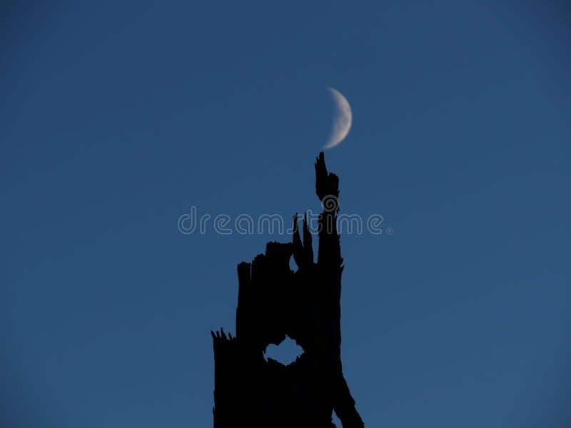 Old tree, the moon twilight stock photo