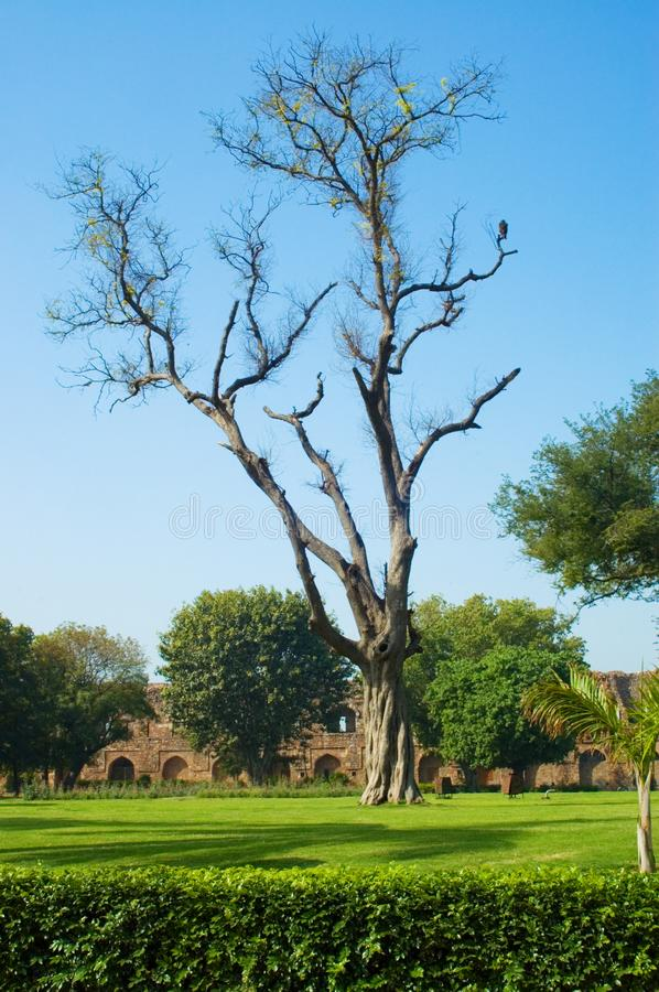 Old tree in old fort lawn royalty free stock image