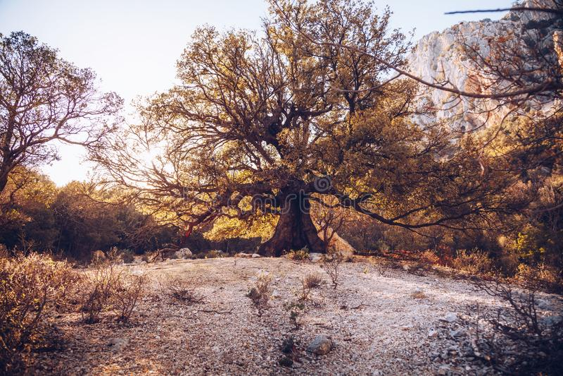 Old tree in the path to Gola su Gorroppu - Sardinia.  royalty free stock image