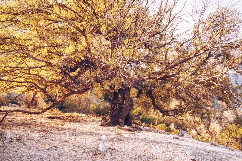 Old tree in the path to Gola su Gorroppu - Sardinia.  royalty free stock photography