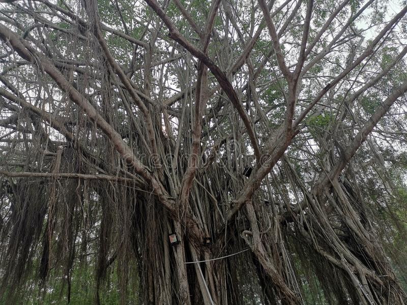 Old Tree in Port Dickson Malaysia. Old Tree branches in Port Dickson Malaysia. Located on a beach stock images