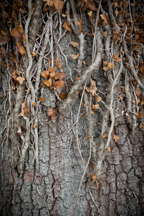 Old Tree Roots. An old tree overcome by creeping roots stock photo