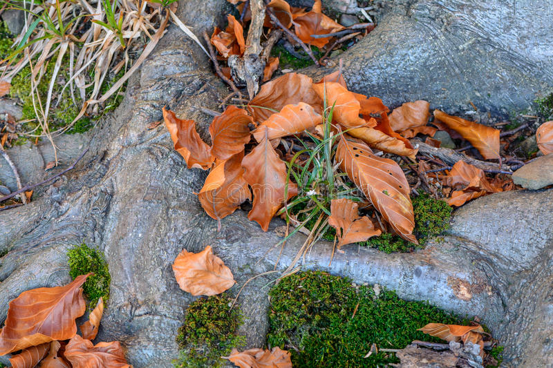 Old tree roots with fallen autumnal leaves. A root system of old. Tree covered with fallen orange and yellow autumnal leaves royalty free stock images
