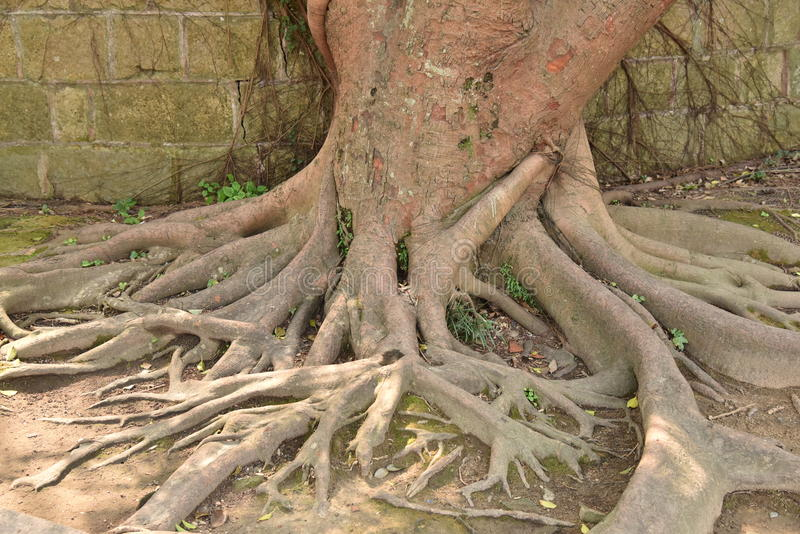 Old tree and roots stock image